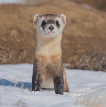 How to mix ferrets with other pets